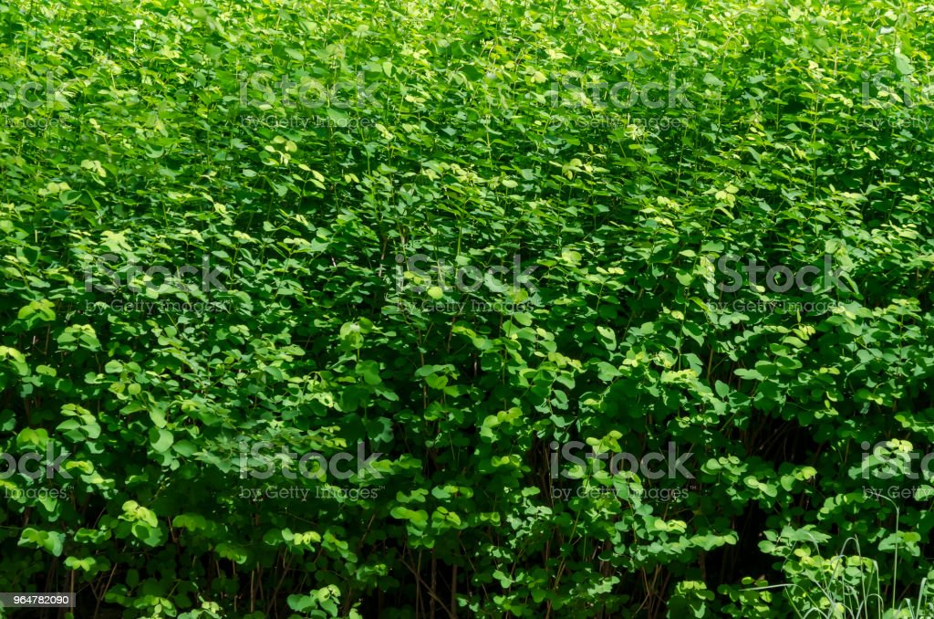 Background of natural green bush field in springtime, South park royalty-free stock photo