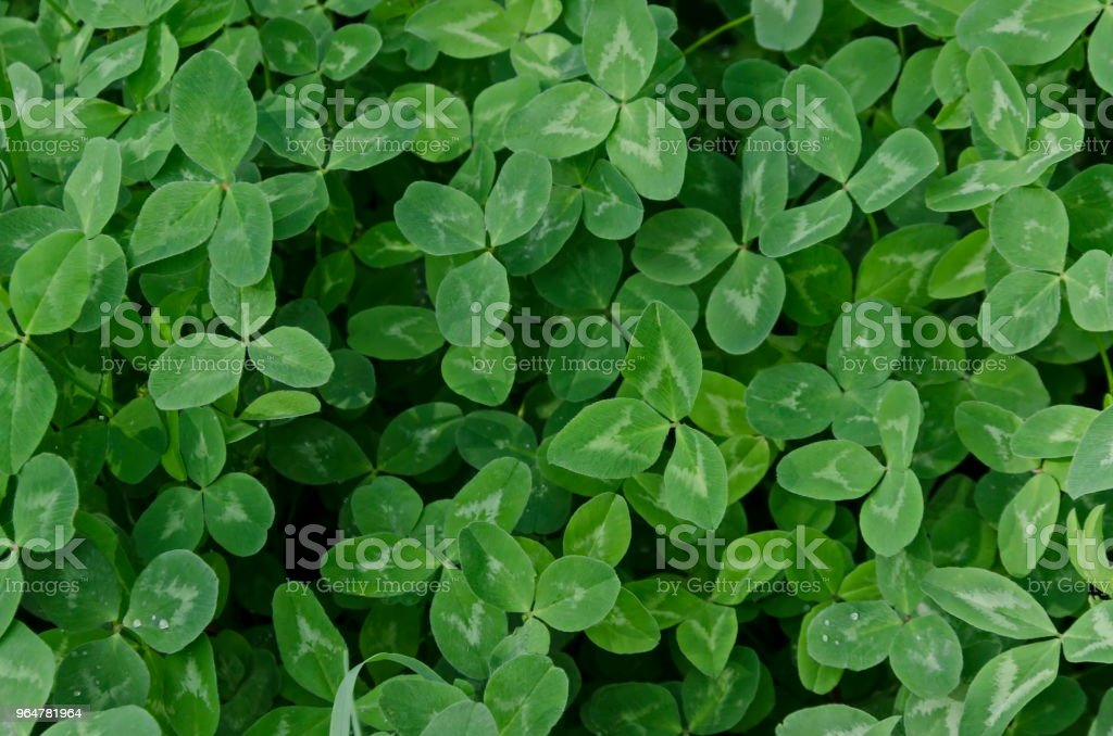 Background of natural green trefoil field in springtime, South park royalty-free stock photo