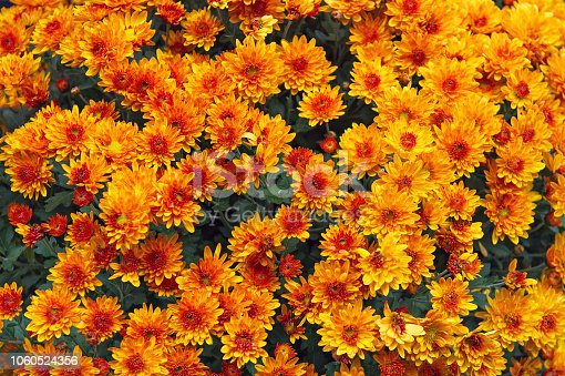 Vibrant background of beautiful chrysanthemum flowers.