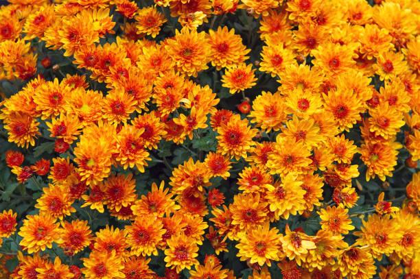achtergrond van oranje chrysant bloemen - chrysant stockfoto's en -beelden