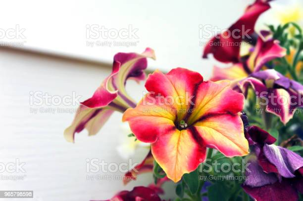Background Of Pansies Stock Photo - Download Image Now