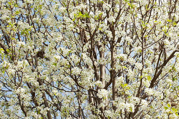 Background of Pear Tree White Spring Flowers stock photo