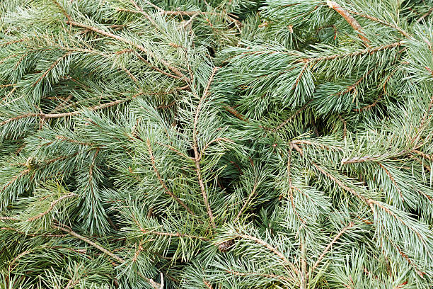 Background of pine twigs and needles stock photo