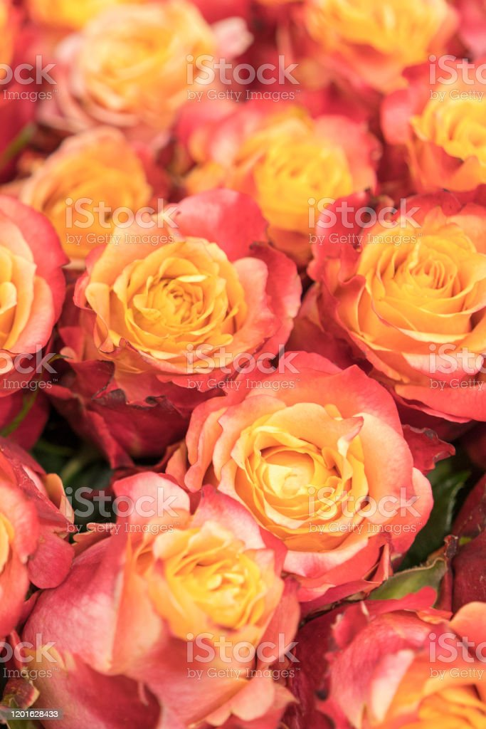 background of pink and peach roses fresh pink roses a huge bouquet of flowers the best gift for women vertical photo stock photo download image now istock background of pink and peach roses fresh pink roses a huge bouquet of flowers the best gift for women vertical photo stock photo download image now istock