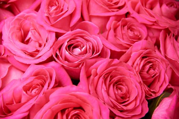 Background of pink rose buds closeup picture id1036127388?b=1&k=6&m=1036127388&s=612x612&w=0&h=ivxljigkhmuhz6sfnxudv mqh1q2tpqihdyb2pa28u0=