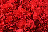 Background of red carnation flowers