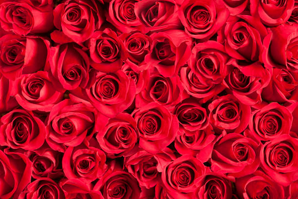 Background of red roses picture id641354376?b=1&k=6&m=641354376&s=612x612&w=0&h=8ahlcuwcwptaqm2aogvx0jcc0btxrttivb8wurwpx30=