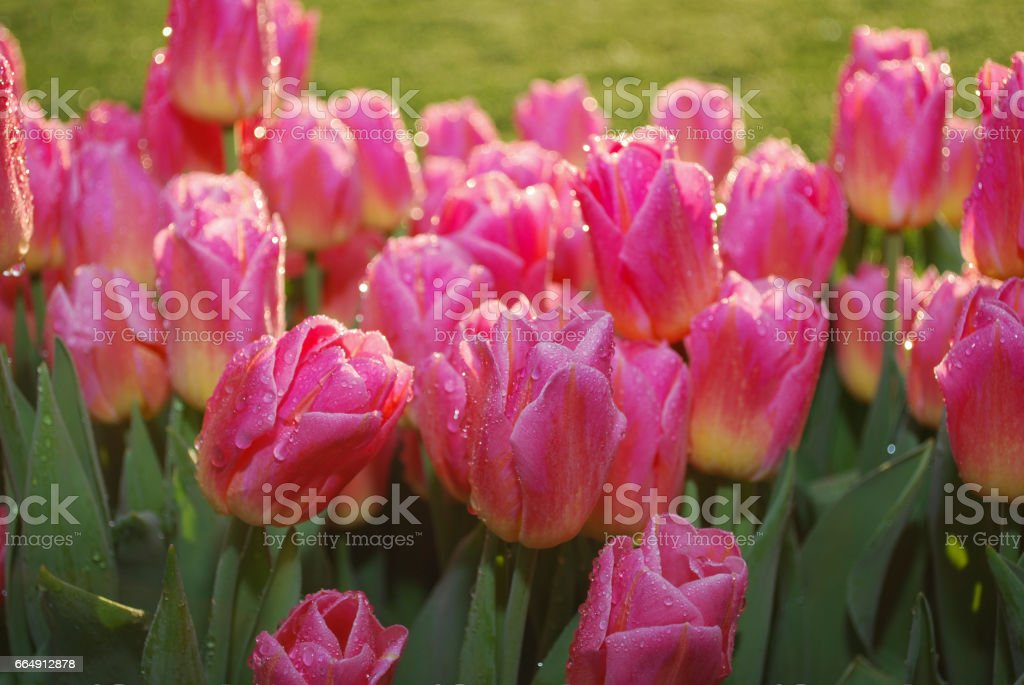 Background of red tulips with dew growth on sunrise. foto stock royalty-free