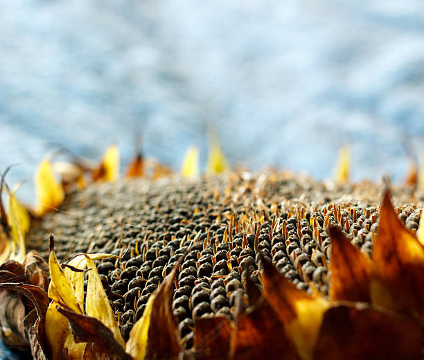 Background of ripe seeds in a sunflower stock photo