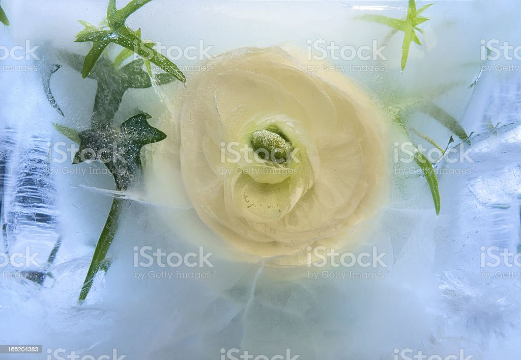 Background of rosa flower frozen in ice royalty-free stock photo