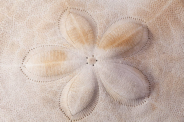 hintergrund von seashell of armor der seeigel makro - sanddollars stock-fotos und bilder