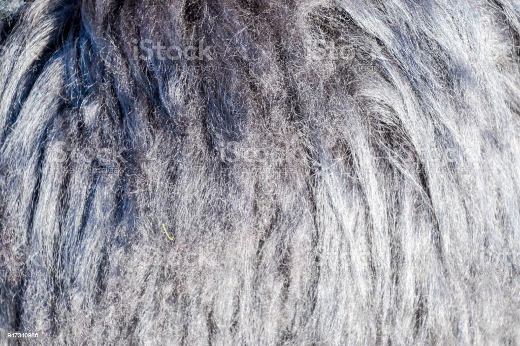 Background of sheep wool on a hat. Mouton sheep's wool. stock photo