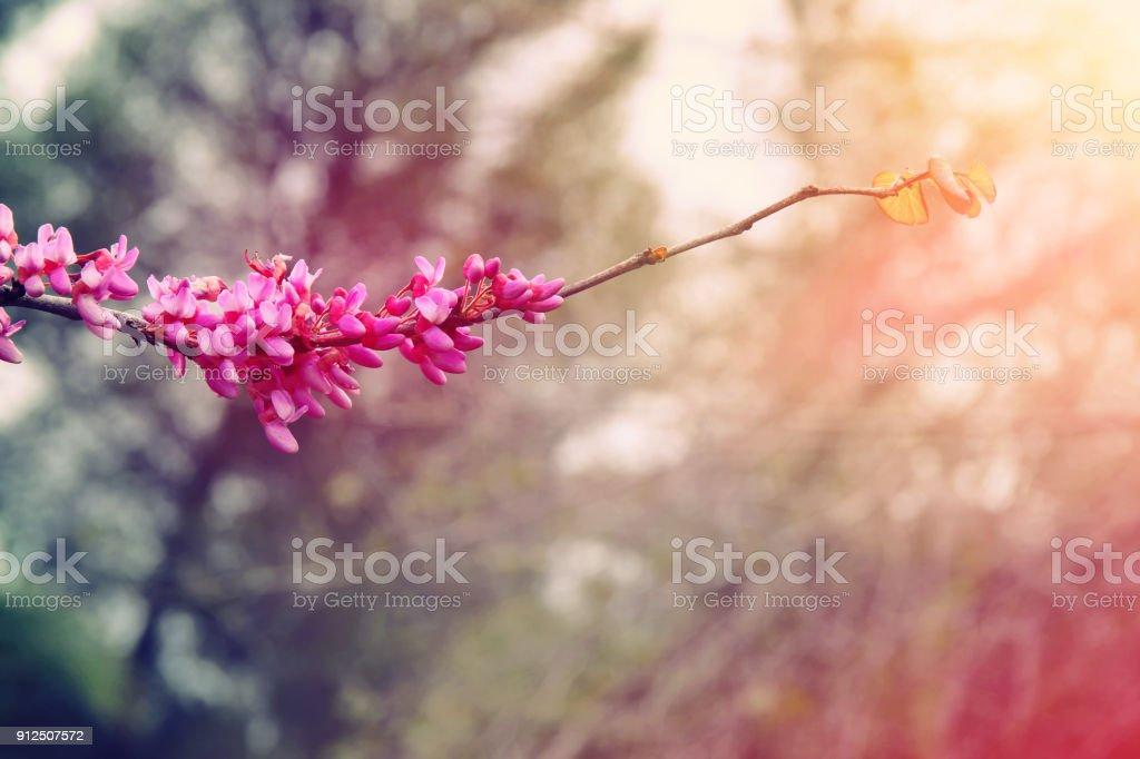 Rosa Kirschblüten Baum Frühling im Hintergrund. selektiven Fokus. Lizenzfreies stock-foto