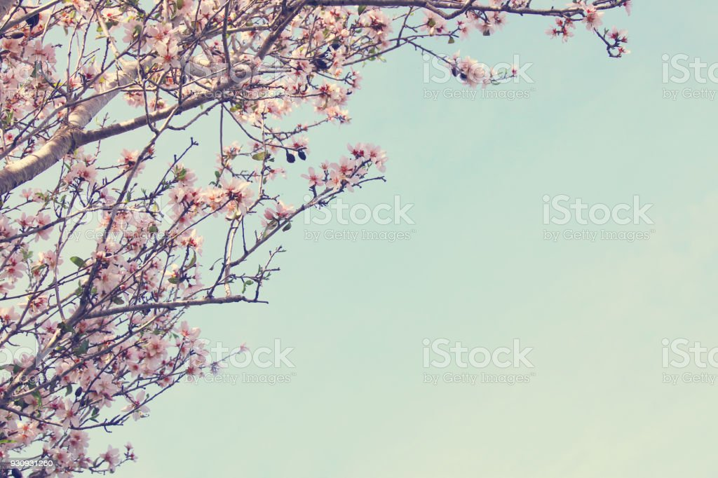 background of spring white cherry blossoms tree. selective focus. stock photo