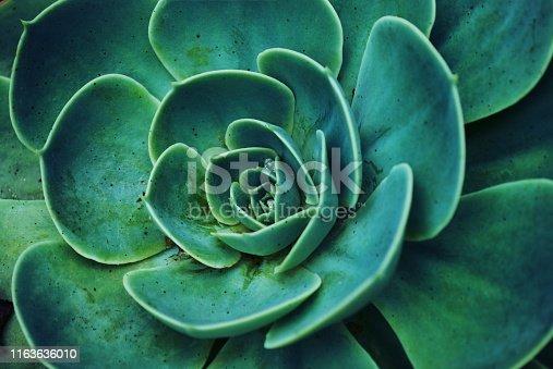 A close-up background of the Succulent plant Echeveria in soft tones.