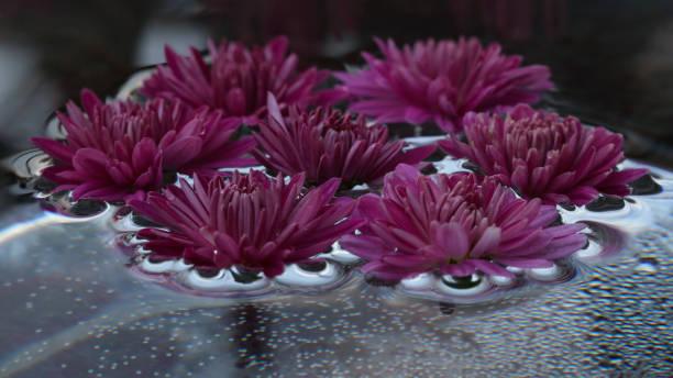 Background of the beautiful pink chrysanthemum flowers in a round picture id1304090018?b=1&k=6&m=1304090018&s=612x612&w=0&h=zwbfkphknlvxbmit0rvcvue2hrsb44693gycsmqj4uq=