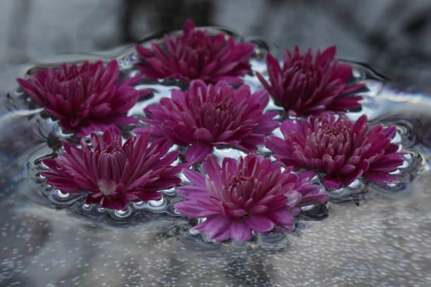 Background of the beautiful pink chrysanthemum flowers in a round picture id1304090026?b=1&k=6&m=1304090026&s=612x612&w=0&h=bekfukzvpzxkmwxrkrjdi jhcrpzkndsoj2  xgmnlk=