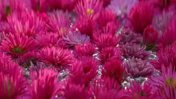 Background of the beautiful pink chrysanthemum flowers in a round picture id1304090072?b=1&k=6&m=1304090072&s=612x612&w=0&h=ujt3jvyn6tybwpikyy9cxiyqbb jffrdiuxyild6x8y=