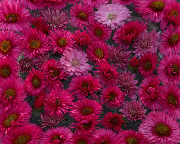 Background of the beautiful pink chrysanthemum flowers in a round picture id1304090082?b=1&k=6&m=1304090082&s=612x612&w=0&h=zcwvnse3jdscbkq4fe8bqb0rkuee 9tq59uh o5qdni=