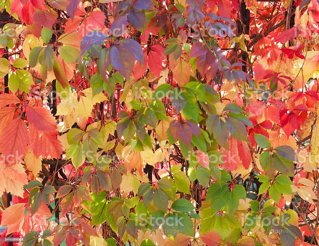 Background of Variegated Leaves stock photo