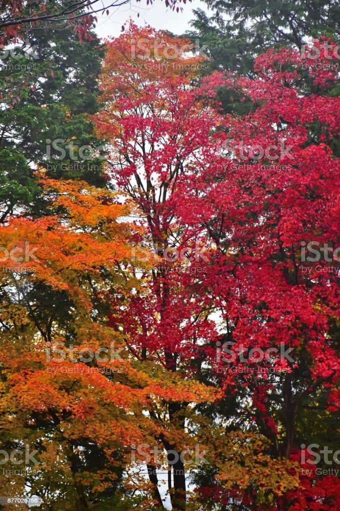 Background of vibrant colored Japanese Maple tree in vertical frame