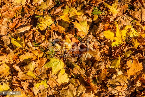 istock Background of yellow fallen maple leaves 1173504071