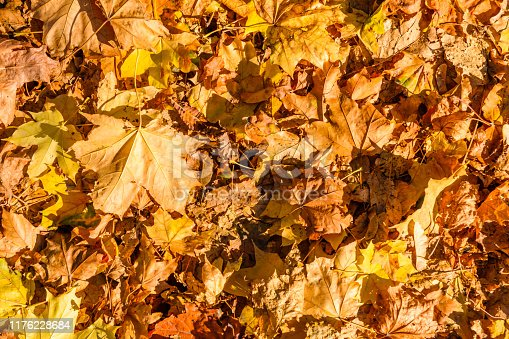 istock Background of yellow fallen maple leaves 1176228684