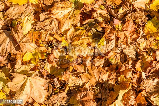 istock Background of yellow fallen maple leaves 1178018127