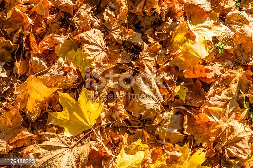 istock Background of yellow fallen maple leaves 1179488223