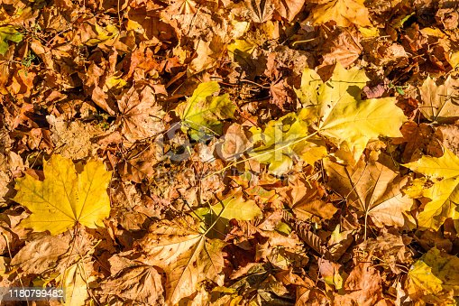 istock Background of yellow fallen maple leaves 1180799482