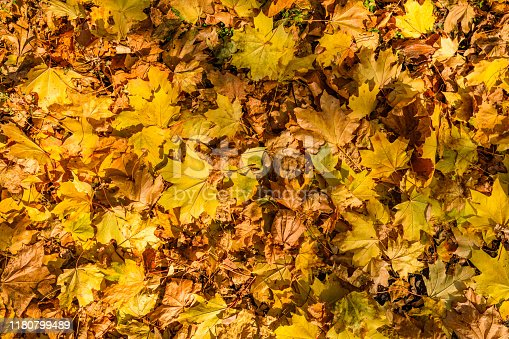 istock Background of yellow fallen maple leaves 1180799489