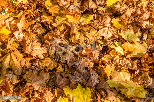 625881376 istock photo Background of yellow fallen maple leaves 1182242516