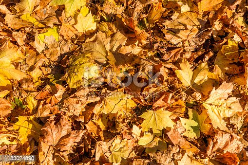 625881376 istock photo Background of yellow fallen maple leaves 1183024890