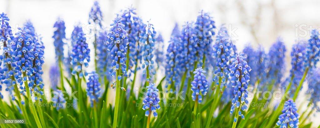 Background panorama with blue flowers grape hyacinth, closeup stock photo