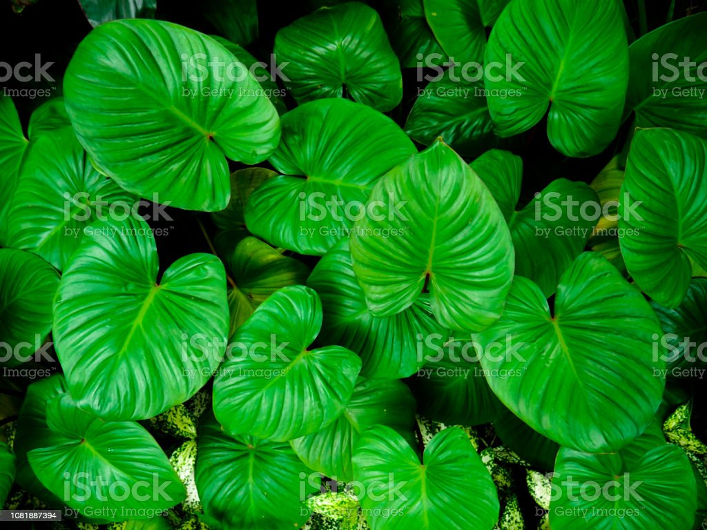 Background Pattern Of Tropical Dark Green Leaves Stock Photo Download Image Now Istock Natural and simple living room decor. https www istockphoto com photo background pattern of tropical dark green leaves gm1081887394 290123664