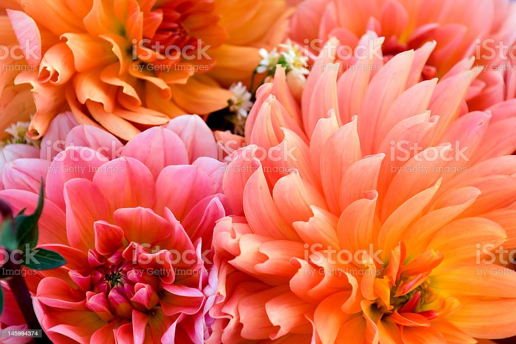 Background photo of Dahlia bulbs and flowers stock photo