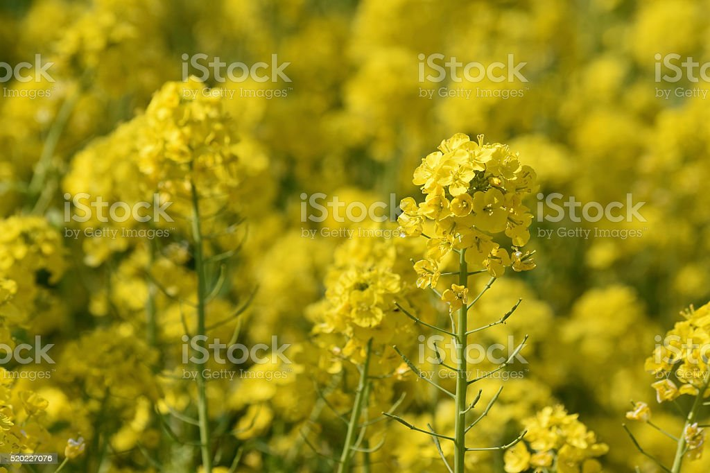 Background Rapeseed Oil or Canola Flowers Agriculture field stock photo