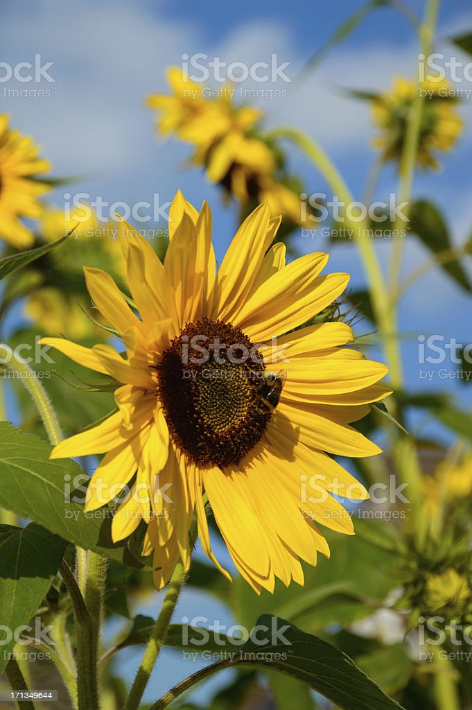 Background sunflower close-up with a  bumblebee (XXXLarge) royalty-free stock photo