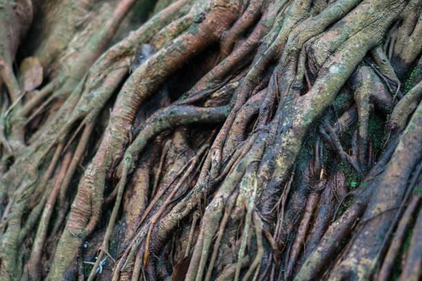 Background texture of banyan tree roots picture id1212605271?b=1&k=6&m=1212605271&s=612x612&w=0&h=rmrcpjdvwqizvagununfegzxmdei8zs2t5tpuxt0tj8=