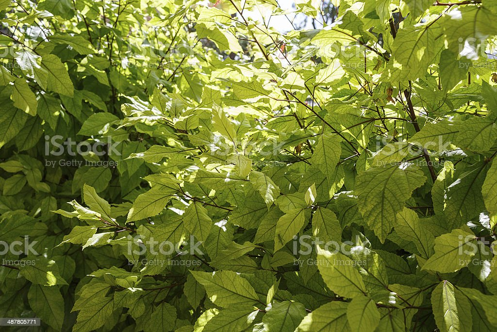 Background texture of fresh green leaves royalty-free stock photo