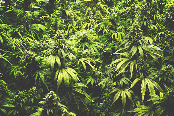 Background Texture of Marijuana Plants at Indoor Cannabis Farm Vintage stock photo