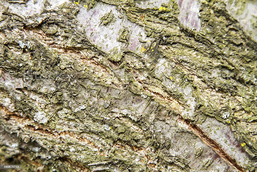 background texture of the bark of fruit tree Apricot stock photo