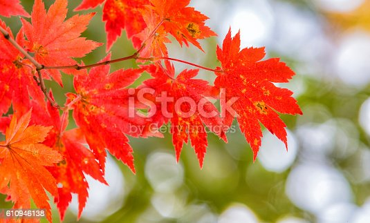 istock background texture of yellow leaves autumn leaf background. 610946138