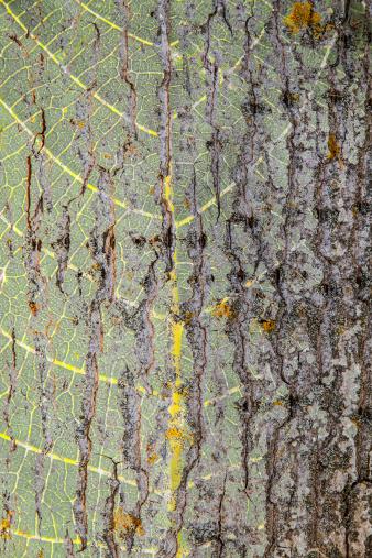 Background Tree Trunk - Fondo Tronco de Arbol