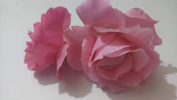 背景/壁紙: 粉紅色玫瑰花 - gif 個照片及圖片檔