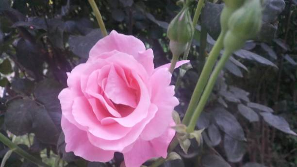 arka plan/masaüstü: pembe gül çiçeği - gif stok fotoğraflar ve resimler