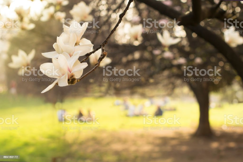 Background with an evening park  and beautiful white magnolias stock photo