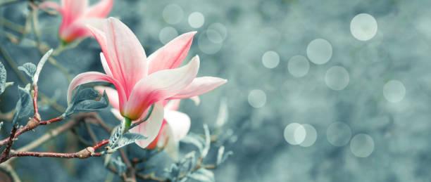 background with blooming pink magnolia flowers - magnolia стоковые фото и изображения