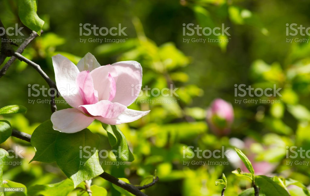 Background with blooming pink magnolia flowers stock photo
