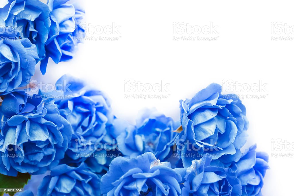 background with blue roses isolated on white. stock photo